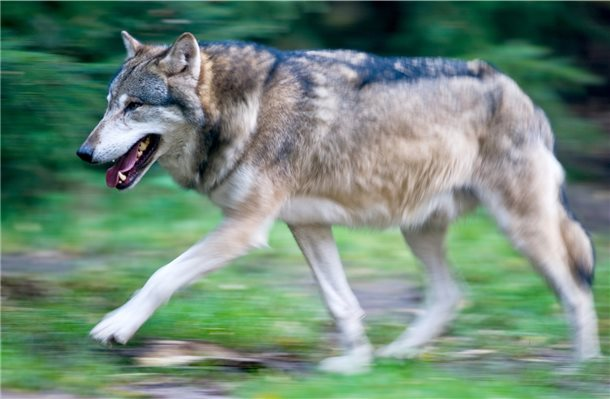 Toter Wolf in Holland stammt aus Rudel in Cuxhaven