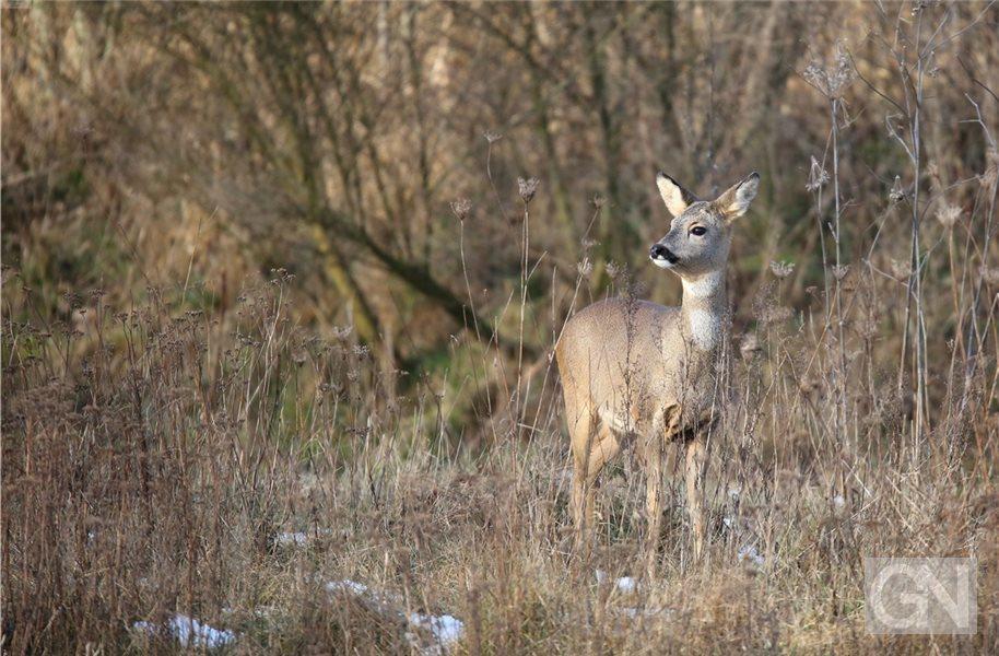 Deutsche Wildtier Stiftung Kürt Das Reh Zum Tier Des Jahres