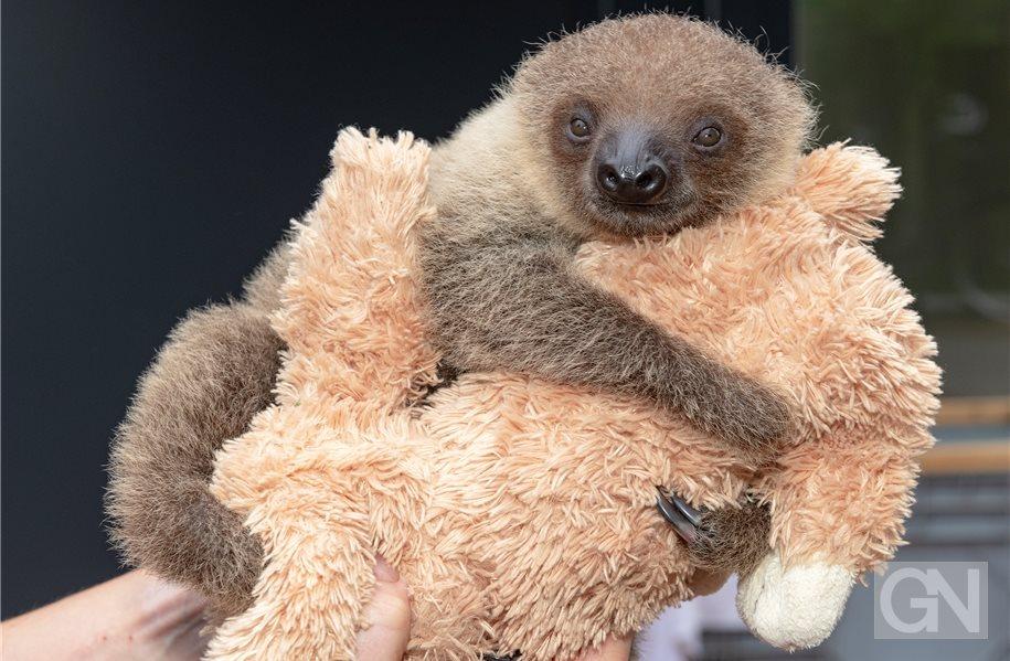 Sorgenkind-Faultier Iggy: Im Tierpark per Hand aufgezogen